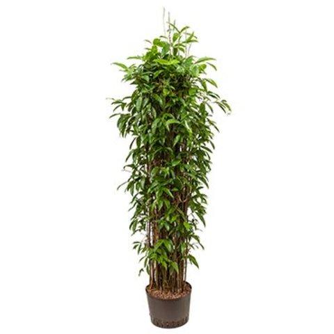 Dracaena Surculosa - hydrocultuur