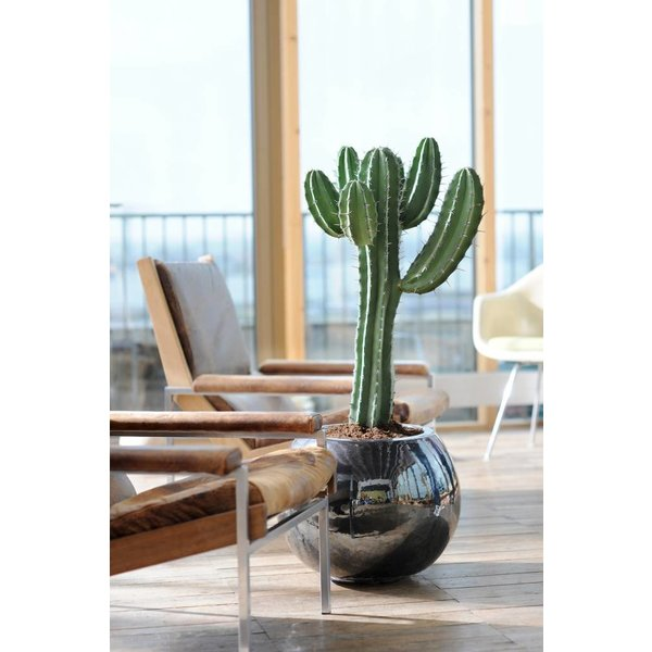 Euphorbia Tetra - hydrocultuur