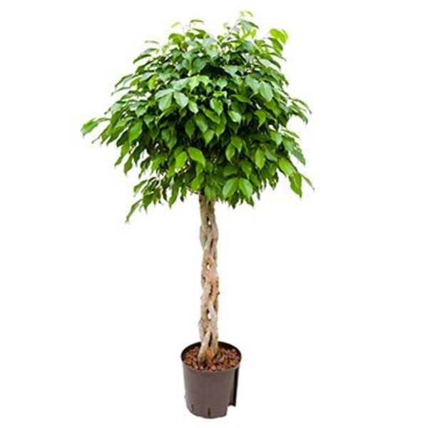 Ficus Benjamina Columnar gevlochten stam - hydrocultuur