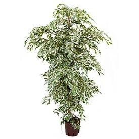 Fleur.nl - Ficus de Gantel - hydrocultuur
