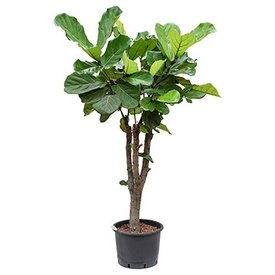 Fleur.nl - Ficus Lyrata op stam XXL - hydrocultuur
