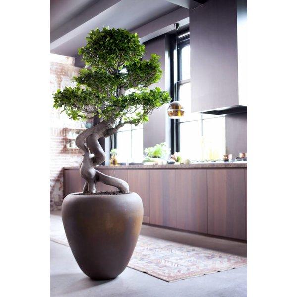 Ficus Microcarpa Compacta - hydrocultuur