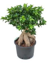 Ficus - Hydrocultuur