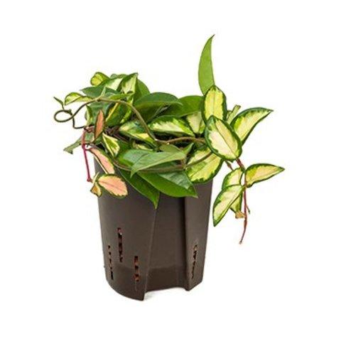 Hoya Carnosa Variegata - hydrocultuur