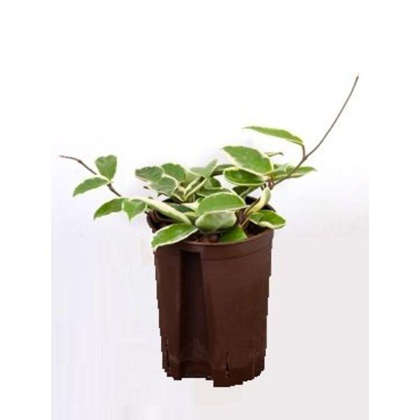 Hoya Krimson Queen - hydrocultuur