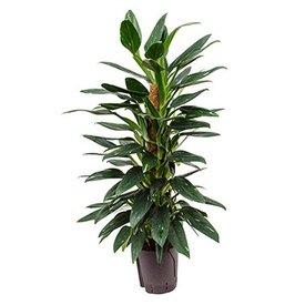 Fleur.nl - Philodendron Cobra - hydrocultuur