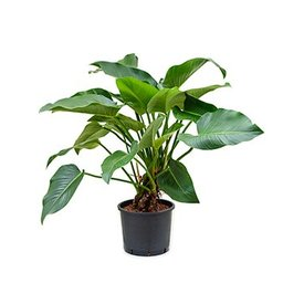 Fleur.nl - Philodendron Green Beauty - hydrocultuur
