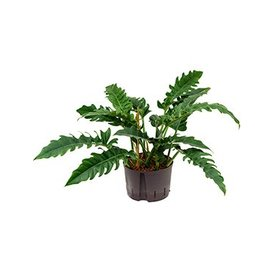Fleur.nl - Philodendron Narrow - hydrocultuur