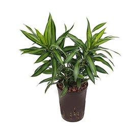 Fleur.nl - Pleomele Song of Jamaica - hydrocultuur