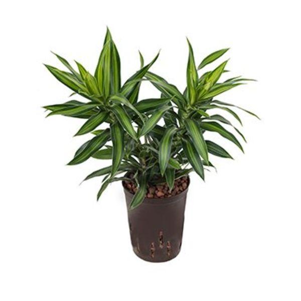 Pleomele Song of Jamaica - hydrocultuur