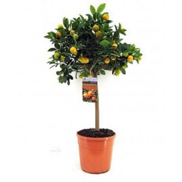Sinaasappelboom large