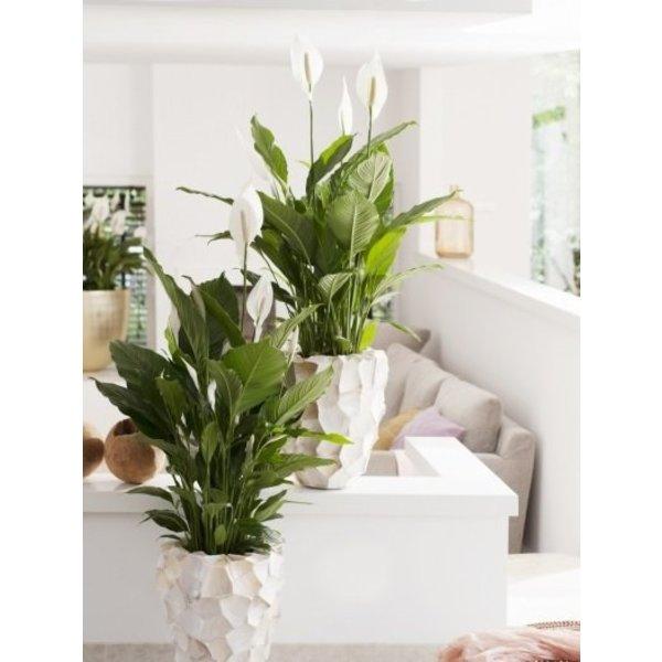 Spathiphyllum Gokyo - hydrocultuur