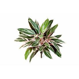Fleur.nl - Cordyline - kunstplant