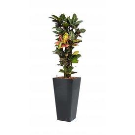 Fleur.nl - Croton Petra met pot - hydrocultuur