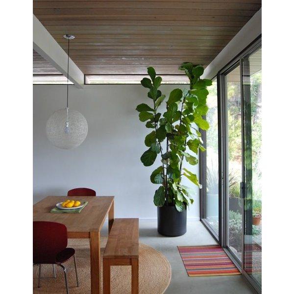 Ficus Lyrata met pot - hydrocultuur