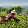 Kruiden thee Gemberwortel
