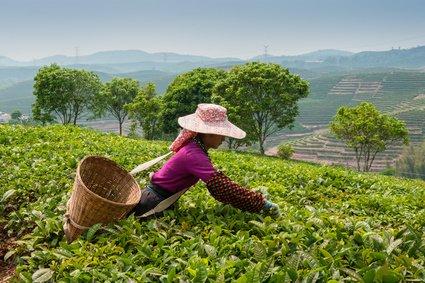 Groene thee Flower Festival