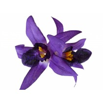 Hawaii haarbloem paars