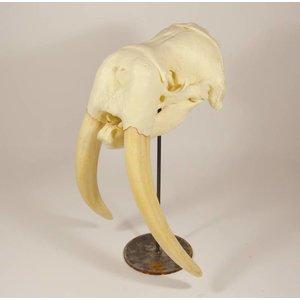 Afgietsel walrus
