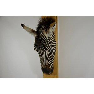 Zebra flat skull