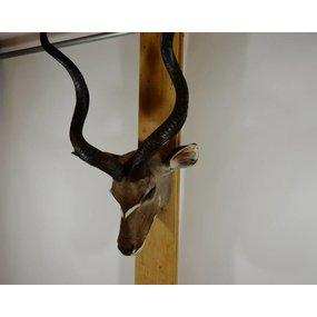 Kudu flat skull
