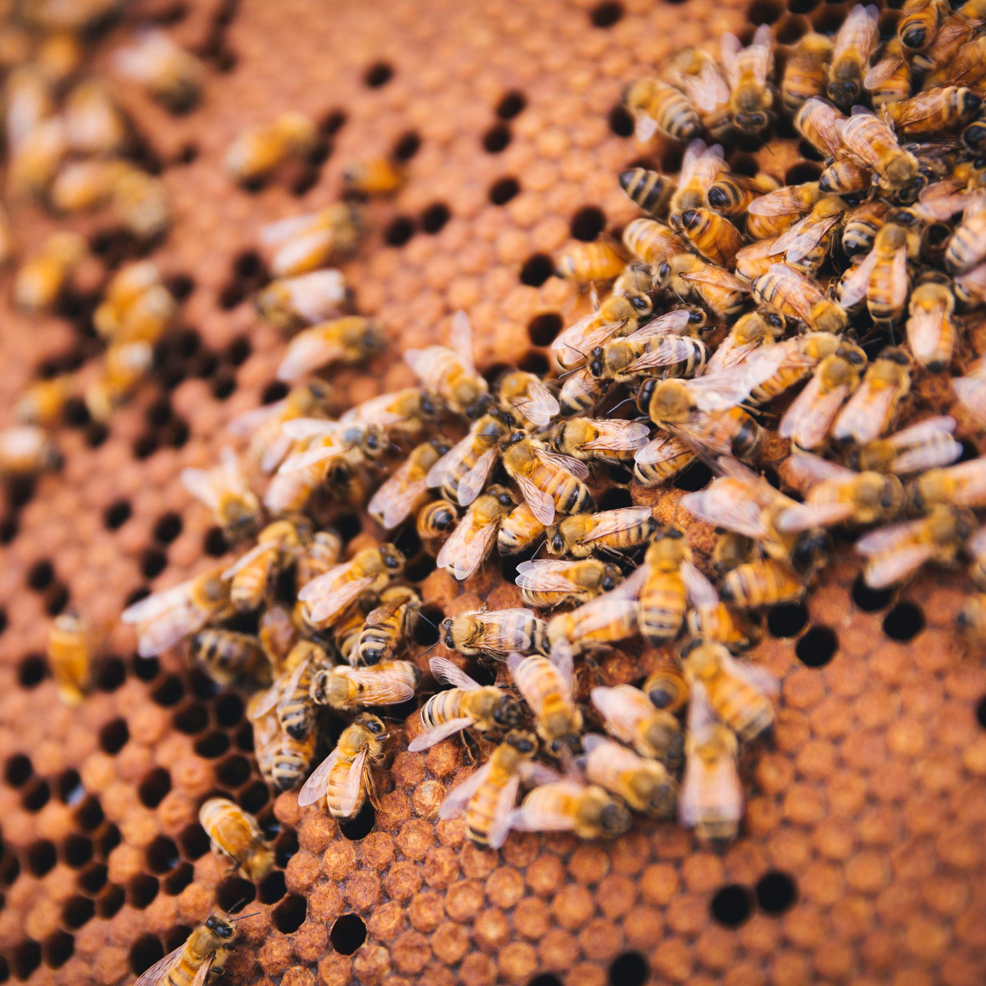 Manuka South® MANUKA  Bonbons MGO 514 / UMF 15+ Lemon Honey (25 Lutschbonbons)