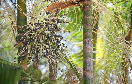 Die Herkunft der Açaí Beeren