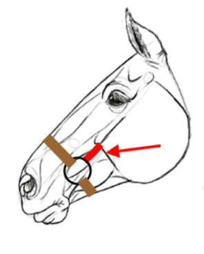 fittiing-the-hackamore