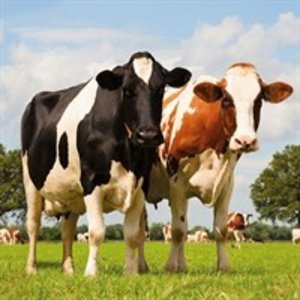 Typisch Hollands Servetten Weiland - Koeien Typisch Hollands