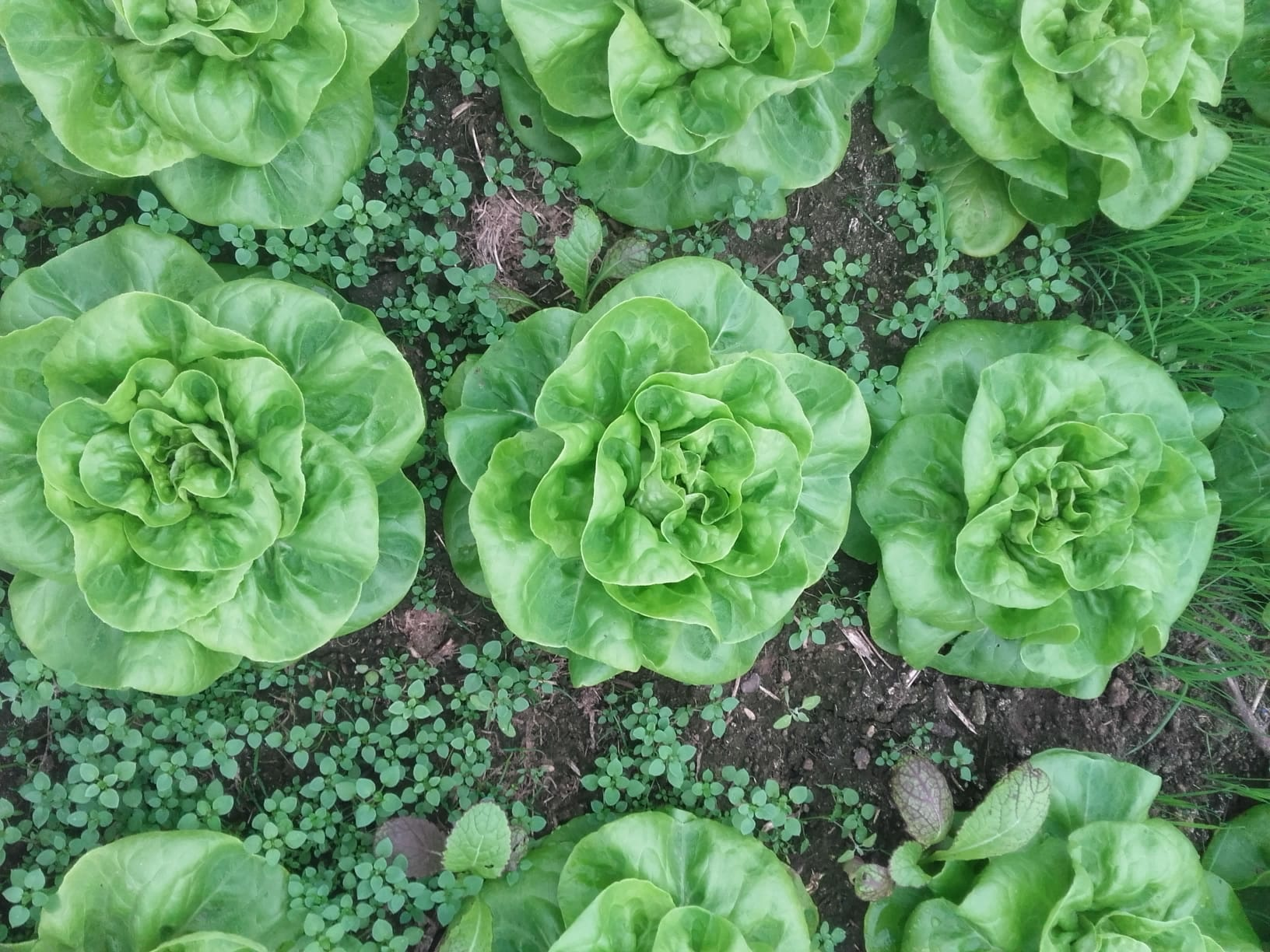 De Andere Tuin BIO AT - Salade (per krop)