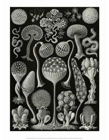Art Forms of Nature, Thalamophora