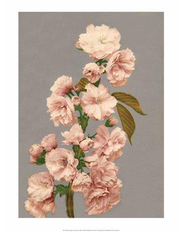 Cherry Blossom, Vintage Japanese Photography