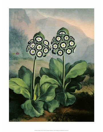 Botanical Print, Group of Auriculas