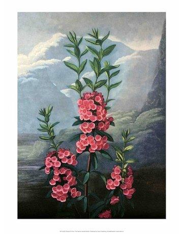 Botanical Print, The Narrow-Leaved Kalmia