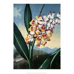 Botanical Print ,The Nodding Renealmia
