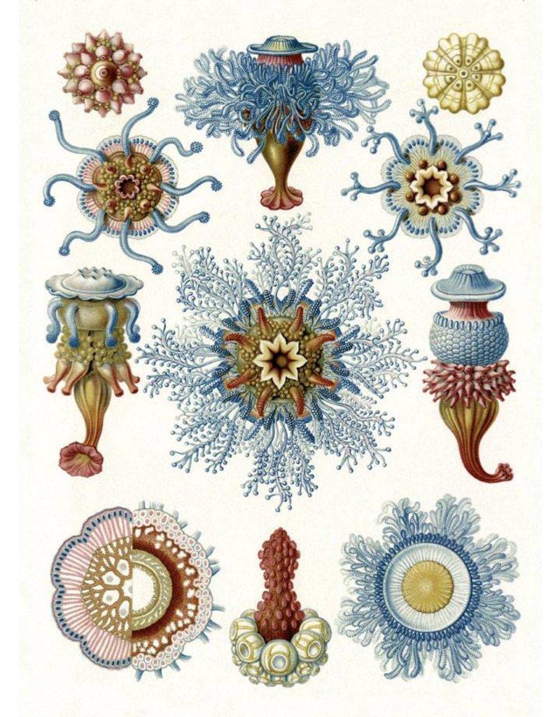 Ernst Haeckel Magnet