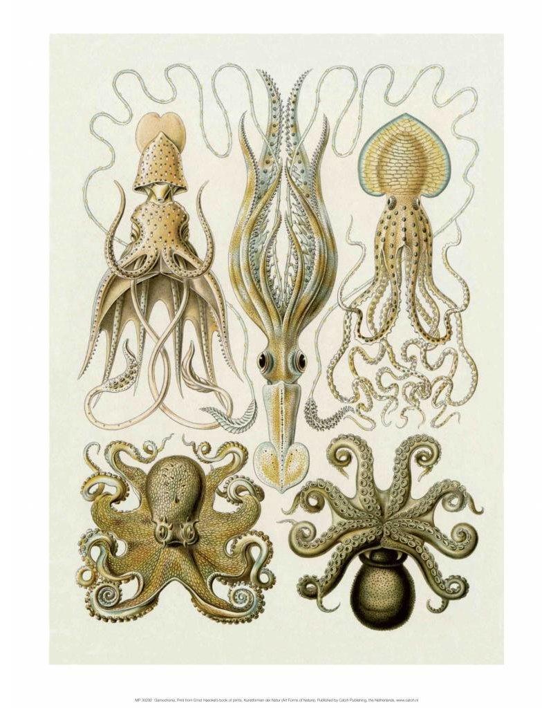 Art Forms of Nature, Gamochonia
