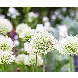 InFlore Allium