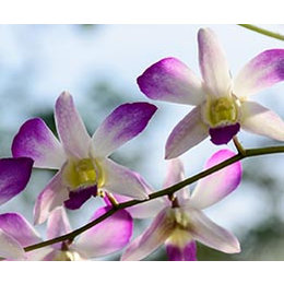 InFlore Wilde Orchidee