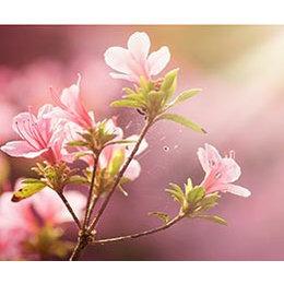 InFlore Peach blossom