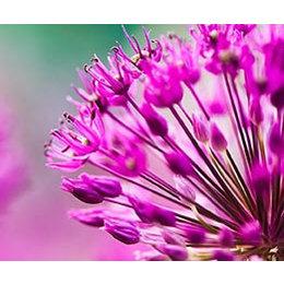 InFlore Roze Allium