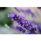 Odeur de Vie Whirlpool Badparfum Lavendel
