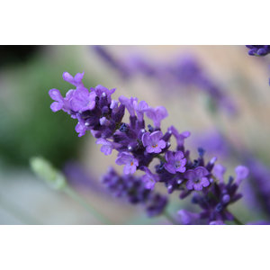 Odeur de Vie Whirlpool Badolie Lavendel 500ml badparfum, bad aroma