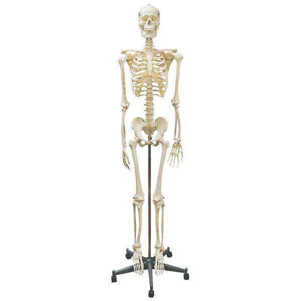 Homo Skelett