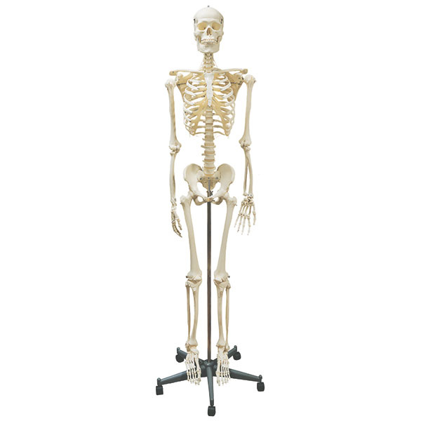 Skelet - homo sapiens