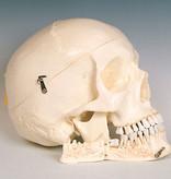 Artificial skull - homo sapiens
