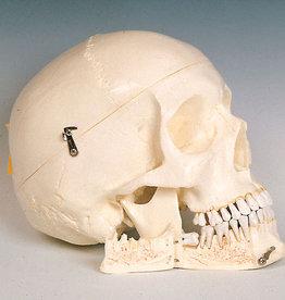 Servoprax Artificial skull - homo sapiens