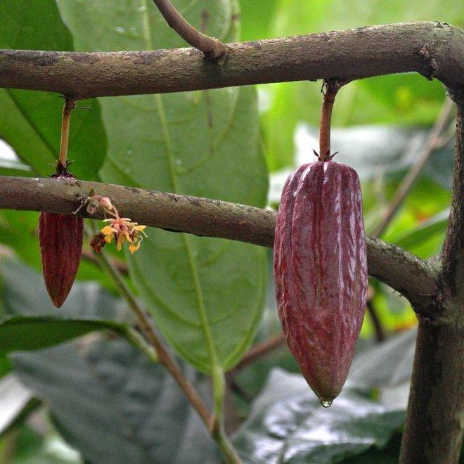 Chocoladeswirl Biologische Zeep - 100gr