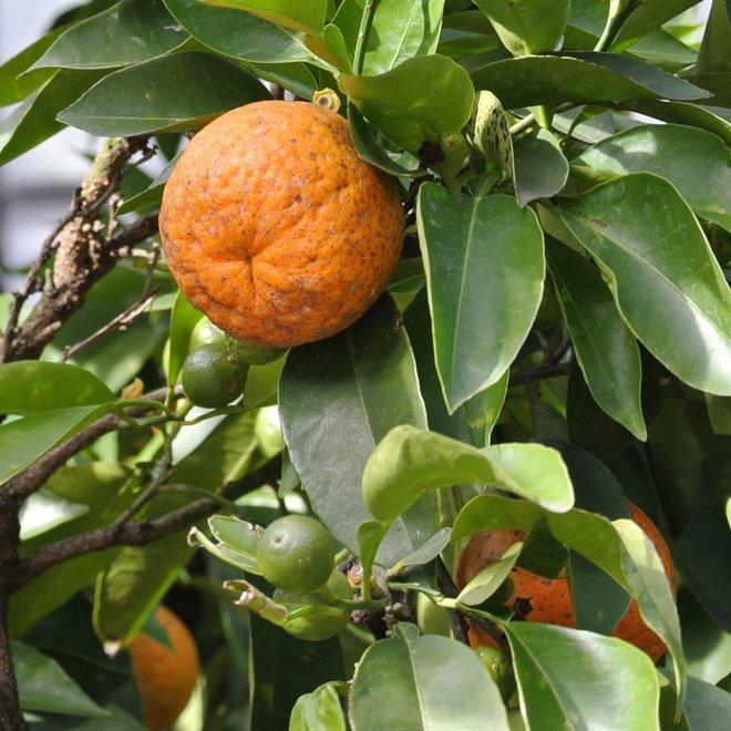 Citruszeep Biologische Zeep - 100gr