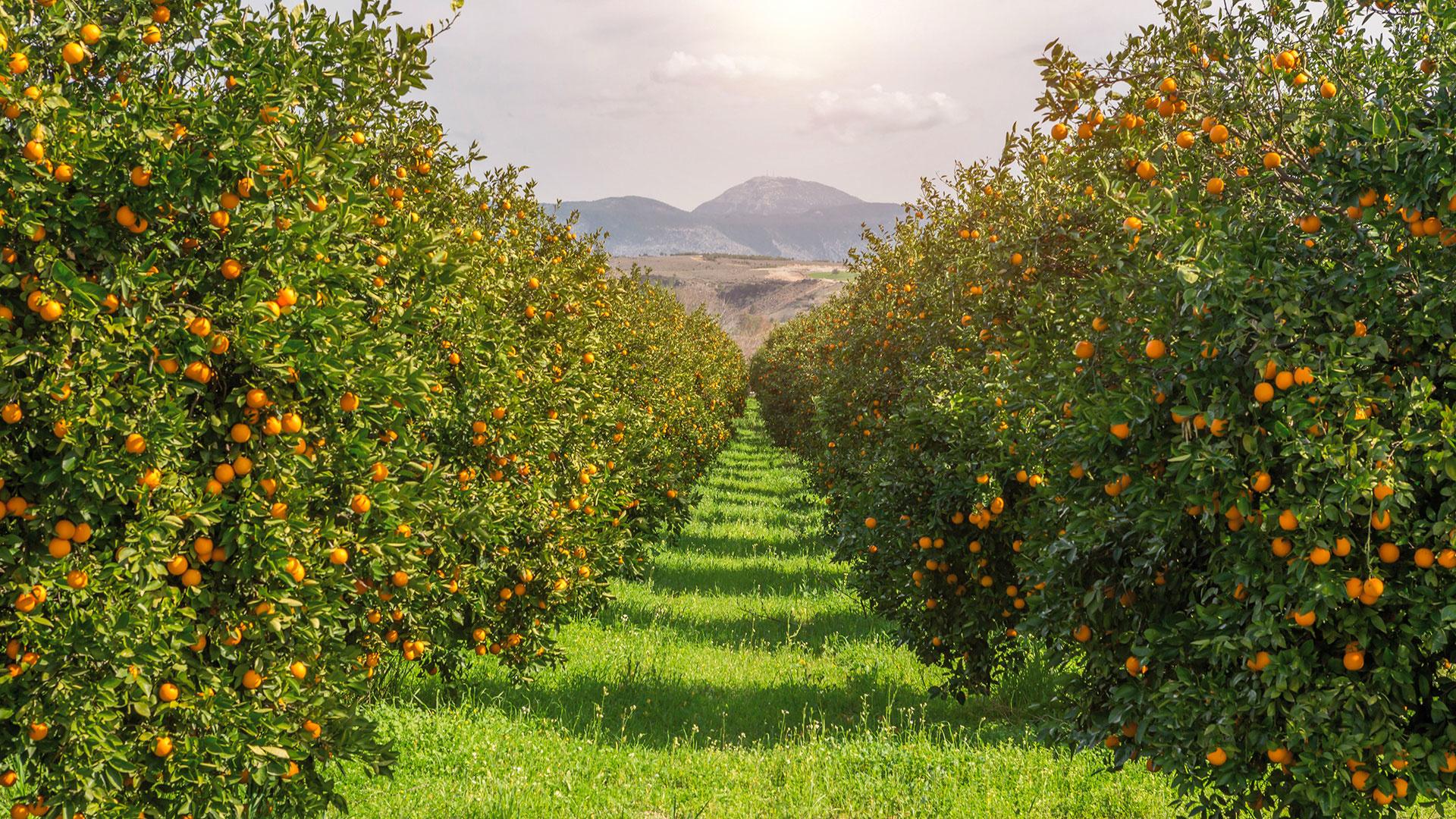 Boomgaard sinaasappels
